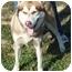 Photo 1 - Siberian Husky Dog for adoption in Somerset, Pennsylvania - Sammy