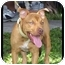 Photo 3 - American Pit Bull Terrier Puppy for adoption in Tampa, Florida - Autumn Rose