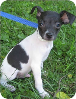 Rat Terrier Mix Puppy for adoption in Mt. Prospect, Illinois - Peanut