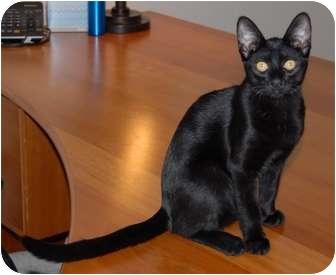 Domestic Shorthair Cat for adoption in Scottsdale, Arizona - Juliet