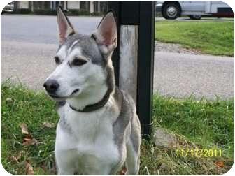 Siberian Husky Dog for adoption in Zanesville, Ohio - Torrie