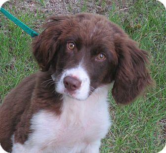 Springer Spaniel Mix Puppy for adoption in Washington, D.C. - Cooper