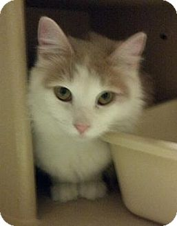 Domestic Longhair Cat for adoption in North Haven, Connecticut - Sookie