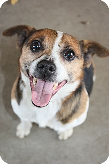 Rat Terrier Mix Dog for adoption in Stilwell, Oklahoma - Freddy