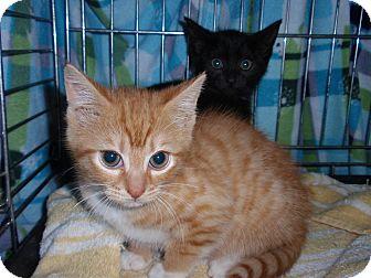 Domestic Shorthair Kitten for adoption in East Brunswick, New Jersey - Topaz