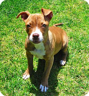 Pit Bull Terrier Mix Puppy for adoption in El Cajon, California - Sassy