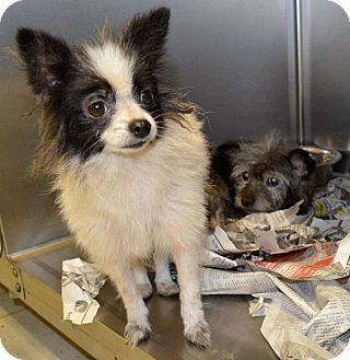 Papillon/Chihuahua Mix Dog for adoption in Lexington, Kentucky - Jesamine