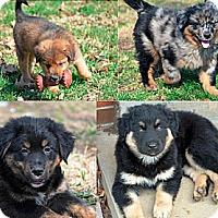 Adopt A Pet :: 7 Dwarf Puppies! - Washington, IL