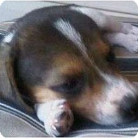 Adopt A Pet :: Scout - Allentown, PA
