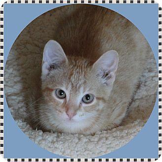 Domestic Shorthair Kitten for adoption in Mt. Prospect, Illinois - Whiskey