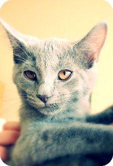 Domestic Shorthair Kitten for adoption in Green Bay, Wisconsin - Dusk