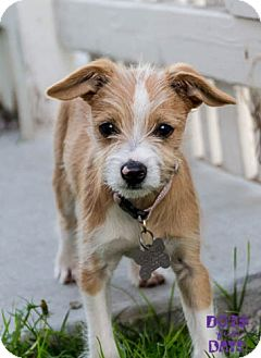 Terrier (Unknown Type, Small) Mix Puppy for adoption in San Diego, California - Terri