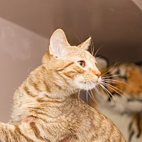 Domestic Shorthair Cat for adoption in Chicago, Illinois - Chester