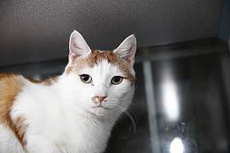 Domestic Shorthair Cat for adoption in Walden, New York - Sonny