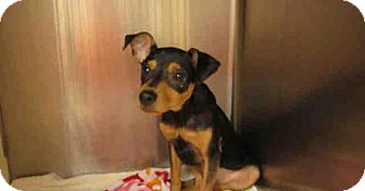 Miniature Pinscher Mix Puppy for adoption in Newnan City, Georgia - Tut