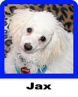 Miniature Poodle Mix Dog for adoption in Plano, Texas - Jax