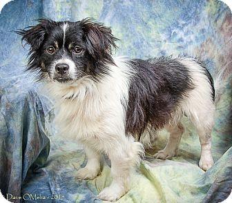 Shih Tzu/Chihuahua Mix Dog for adoption in Anna, Illinois - RIO JOE