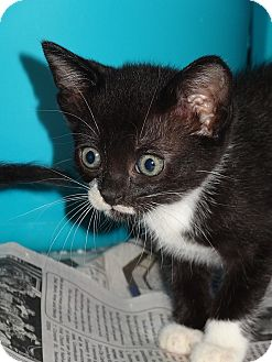 Domestic Shorthair Kitten for adoption in Tampa, Florida - Sally