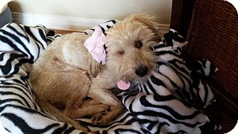 Havanese/Poodle (Miniature) Mix Dog for adoption in Alamosa, Colorado - Lala