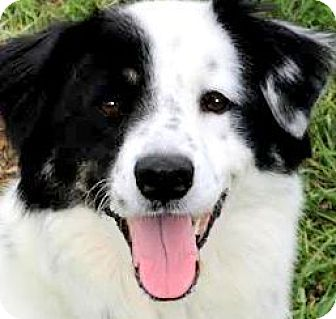 Border Collie/Australian Shepherd Mix Dog for adoption in Wakefield, Rhode Island - HOAGIE(BEAUTIFUL-SO SMART!!