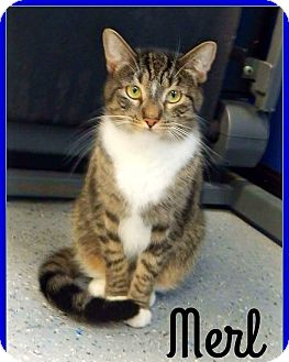 Domestic Shorthair Cat for adoption in Austintown, Ohio - Merl