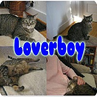 Adopt A Pet :: Jessie - Lapcat Snggler - Rochester, NY