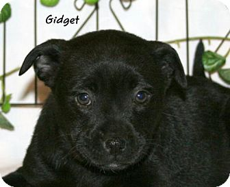 Pomeranian/Pug Mix Puppy for adoption in Green Cove Springs, Florida - Gidget