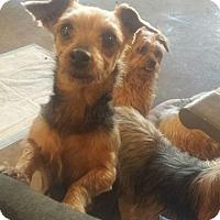 Adopt A Pet :: Harper - (Pending Adoption) - Quentin, PA