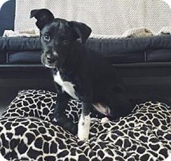 Labrador Retriever Mix Puppy for adoption in Gainesville, Florida - April