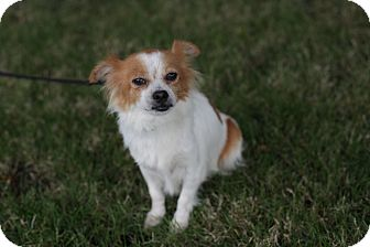 Chihuahua/Pomeranian Mix Dog for adoption in West Linn, Oregon - Roxy