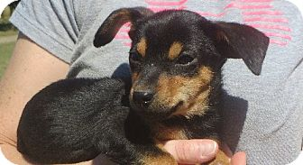Dachshund Mix Puppy for adoption in Greenville, Rhode Island - Barney