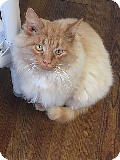 Domestic Mediumhair Cat for adoption in Greensburg, Pennsylvania - Mau Mau