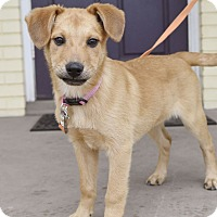 Adopt A Pet :: Rosie - Knoxville, TN