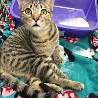 Domestic Shorthair Cat for adoption in Burbank, California - Belle