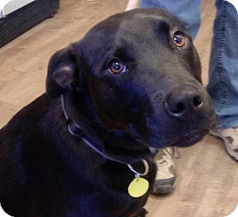 Retriever (Unknown Type)/Pit Bull Terrier Mix Dog for adoption in Divide, Colorado - Zeus