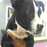 Adopt A Pet :: Jax-ADOPTION PENDING - Boulder, CO