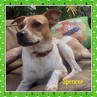 English Springer Spaniel/Labrador Retriever Mix Puppy for adoption in KITTERY, Maine - SPENCER