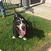 Adopt A Pet :: Andy - Folsom, LA