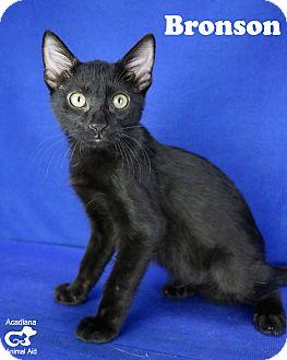 Domestic Shorthair Kitten for adoption in Carencro, Louisiana - Bronson