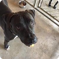 Adopt A Pet :: Buddy - Traverse City, MI
