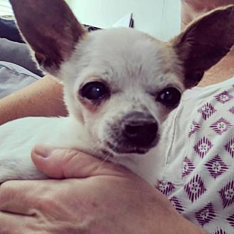 Chihuahua Dog for adoption in Fort Myers, Florida - Granny Smith