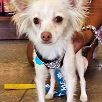 Adopt A Pet :: Justiss! FOSTER NEEDED 8/20 - New York, NY