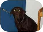 Labrador Retriever Dog for adoption in Bridgewater, Connecticut - Brandy :o)