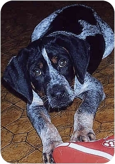 Coonhound (Unknown Type) Mix Puppy for adoption in Owatonna, Minnesota - Hooch