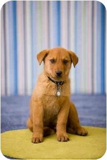 Labrador Retriever Mix Puppy for adoption in Portland, Oregon - Rudy