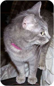 Domestic Shorthair Cat for adoption in Goldsboro, North Carolina - Minnie Mouse