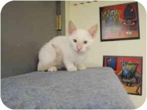 Domestic Shorthair Kitten for adoption in Milwaukee, Wisconsin - Mosquito