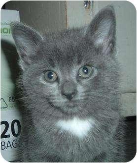 Domestic Shorthair Kitten for adoption in Barron, Wisconsin - Max