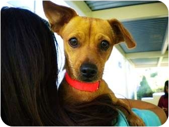Dachshund Mix Puppy for adoption in Mission Viejo, California - Goldie