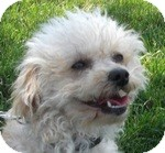 Toy Poodle Mix Dog for adoption in Wheaton, Illinois - Dee